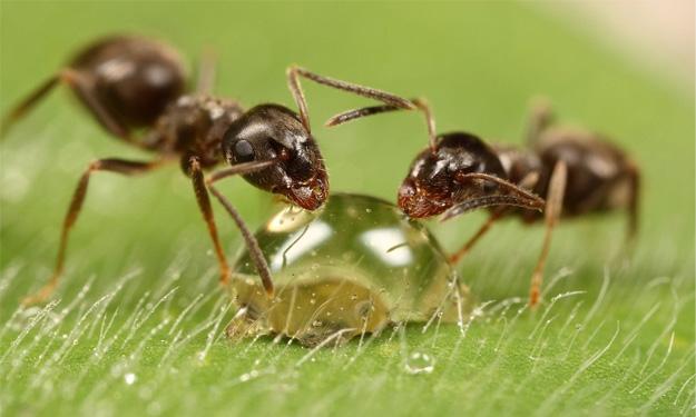 Hormigas bebiendo una gota de miel